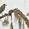 Yellow Crowned Night Heron at 309 RR Brunswick, Georgia 06-14-12