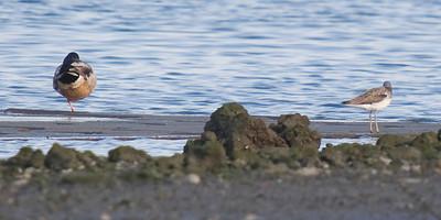 Mallard duck (on left, with common greenshank on right)