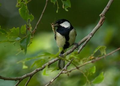 Great Tit: Tokyo Port Wild Bird Park