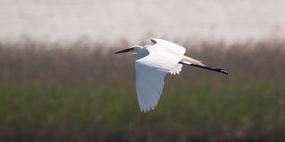 Great Egret: Fujimae Higata (Port of Nagoya)