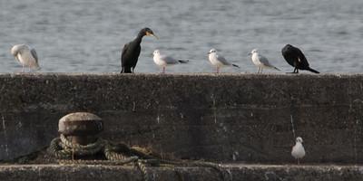 Temminck's Cormorant with Black-headed and Vega Gull.