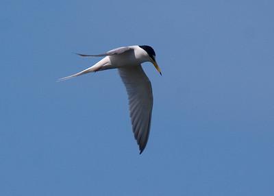 Little Tern: Fujimae Higata (Port of Nagoya)
