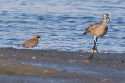 (Left) Lesser Sand Plover (aka Mongolian Plover); (right) Whimbrel.  Fujimae Higata (Port of Nagoya)