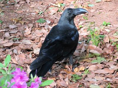 Common Raven: Ueno Park, Tokyo