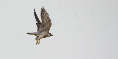 Peregrine Falcon - Tonegawa