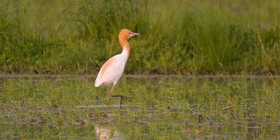 Cattle Egret: Agricultural Fields east of Toyota-shi, Aichi