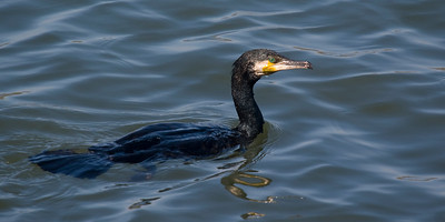 Great Cormorant: Fujimae Higata (Port of Nagoya)