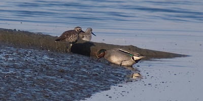 Common Teal (with Grey Plover and Common Greenshank)