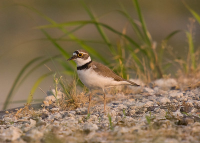 Little Ringed Plover: Agricultural area east of Toyota-shi, Aichi