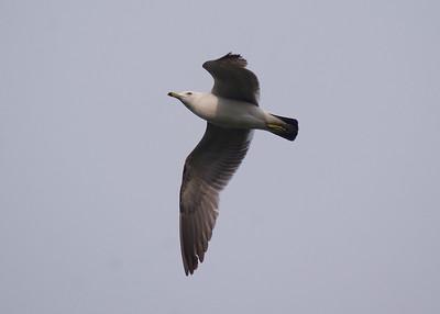 Black-tailed Gull: Shinobazu Pond, Ueno Park, Tokyo
