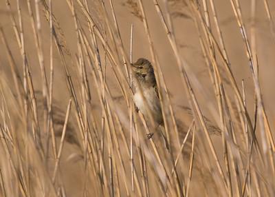 Oriental/Great Reed Warbler: Fujimae Higata (Port of Nagoya)