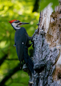 Pileated Woodpecker - updated image from Algonquin Park (May 2010). Found this fellow just after sunrise, was a little dark in the woods - but nice to see unobstructed view.