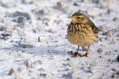 American Pipit from January 2010.  Typically i have observed these birds at some distance in farmer's fields or foraging on mudflats during migration. This close view of a wintering bird trying to keep warm was a special treat.