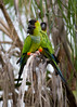 Nanday Parakeet (formerly known as black-hooded parakeet) - Florida