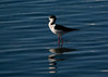 Black-winged Stilt - seen abroad: Japan
