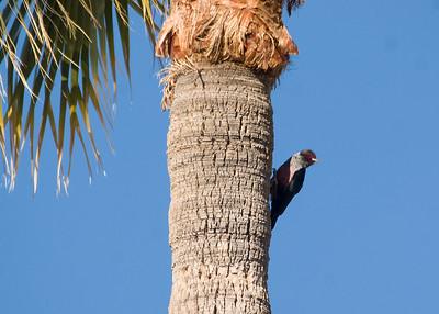 Lewis's Woodpecker - Reid Park, Tucson, AZ
