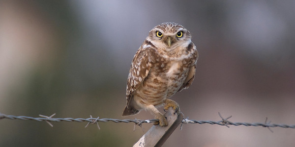 Burrowing Owl - February 2012