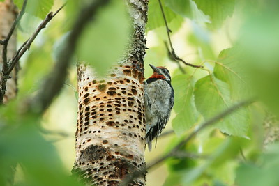 Red-naped Sapsucker, Crescent Valley, BC