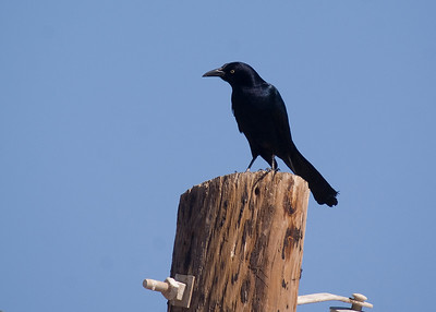 Great-tailed Grackle, Salton Sea - February 2012