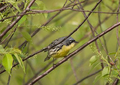 Kirtland's Warbler - Grayling, MI