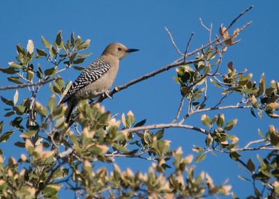 Gila Woodpecker - Reid Park, Tucson, AZ