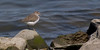 Common Sandpiper - seen abroad: Japan