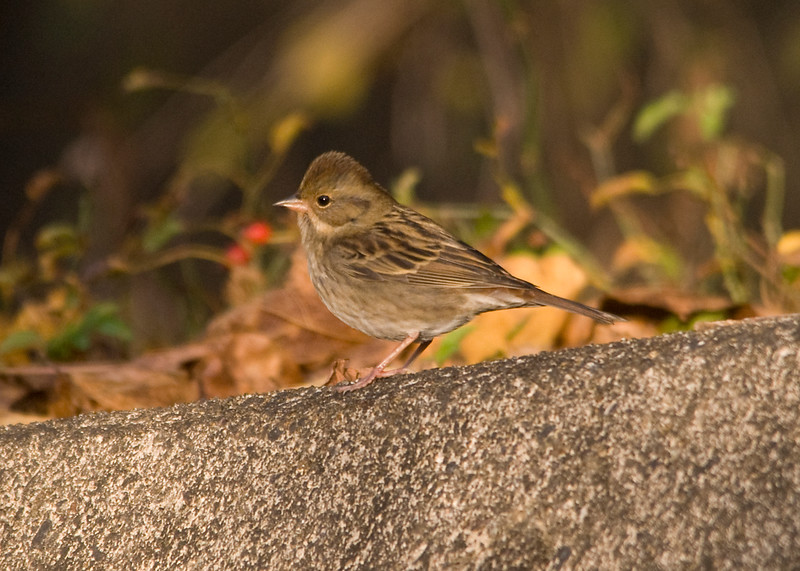 Grey Bunting (Female): Seen Abroad.