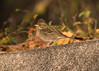 Grey Bunting (Female): Seen Abroad.