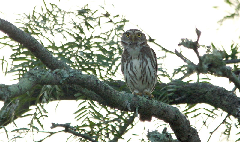 Ferruginous Pygmy Owl - King Ranch, TX