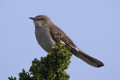 Northern Mockingbird - Ocean City, MD.