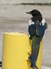 "Black-billed Magpie. I previously struggled to find one in Michigan. In Calgary they were literally ""trash"" birds...common in most urban parking lots."