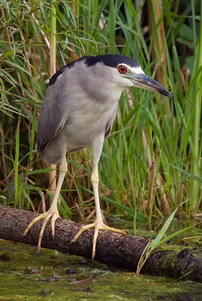Adult Black-crowned Night Heron - Humber Bay Park East<br /> <br /> I updated my previous image for this species on September 14, 2008. I finally found an adult out in the open!