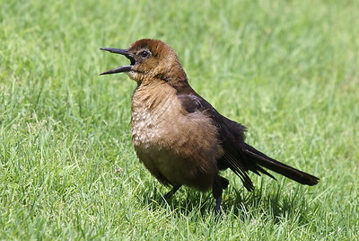 Boat-tailed Grackle (Female) - Florida