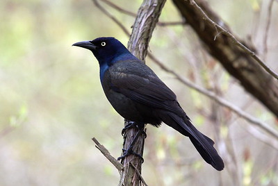Common Grackle (Ontario)