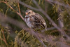 """Harris's Sparrow - added to life list April 2011.   This is an immature bird transitioning into adult plumage.<br /> <br /> """"The Harris's Sparrow is the only bird species that breeds in Canada and nowhere else in the world."""""""