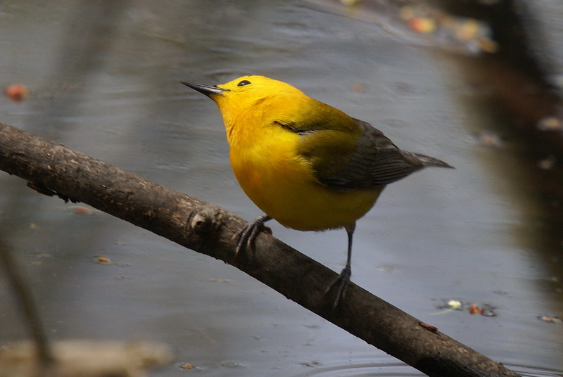 Prothanotary Warbler (endangered - estimated only 40 breeding pairs in Canada at this time)