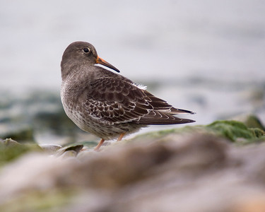Purple Sandpiper - November 2011