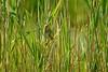 Saltmarsh Sparrow - Hampton Marsh