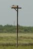 Aplomado Falcon on nest box - Texas