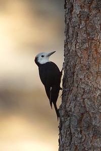 White-headed Woodpecker - Angeles National Forest, CA