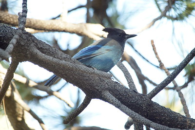 Steller's Jay - Angeles National Forest, CA