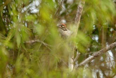 Nuttall's Woodpecker - San Diego, CA
