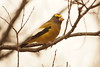 Evening Grosbeak - North Bay, ON