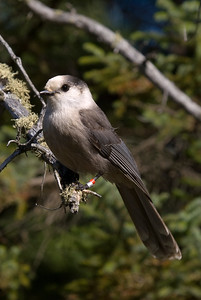 Gray Jay - Added to life list October 6, 2008.
