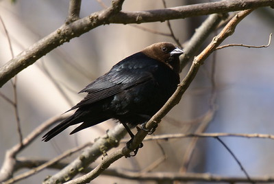 Brown-headed Cowbird (male)