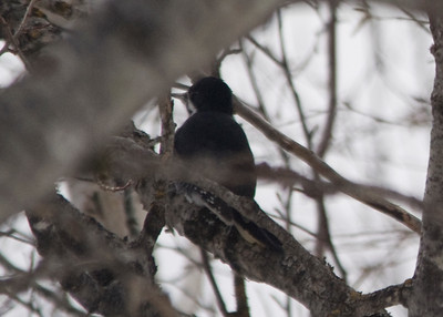 Black-backed Woodpecker - January 2013, Opeongo Road, Algonquin Provincial Park