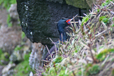 Red-faced Cormorant Nesting