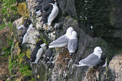 Black-legged Kittiwake Nesting
