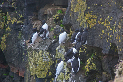 Least Auklet with Thick-billed Murre