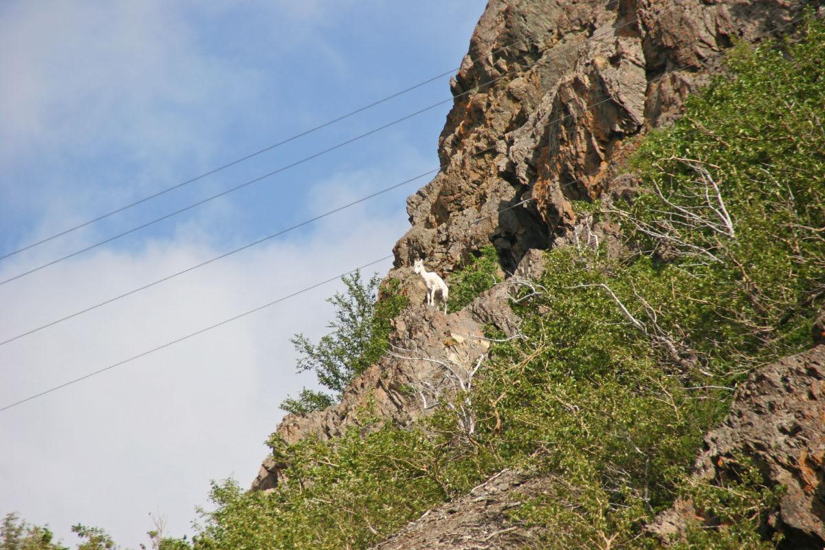 Dall's Sheep - Anchorage to Seward